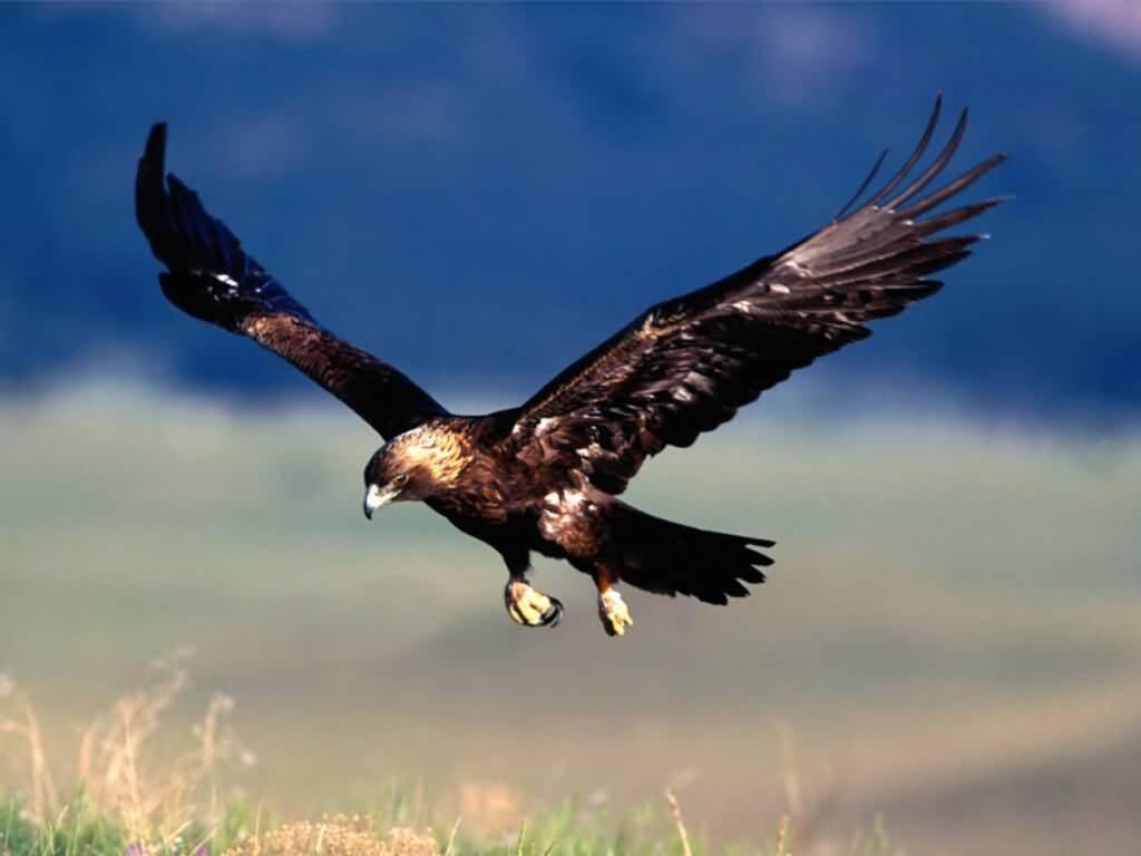mơ thấy chim ưng